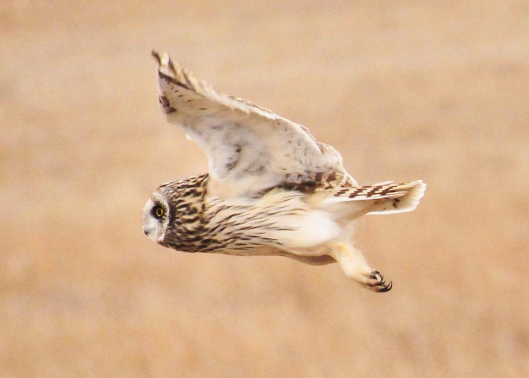 Shorteared owl in flight
