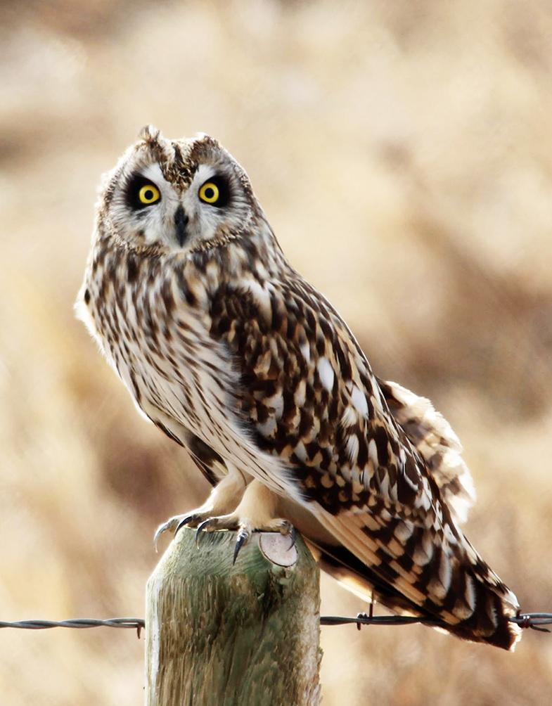 shorteared owl sitting on pole