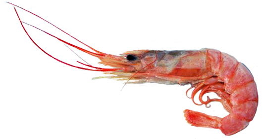 shrimp graphics