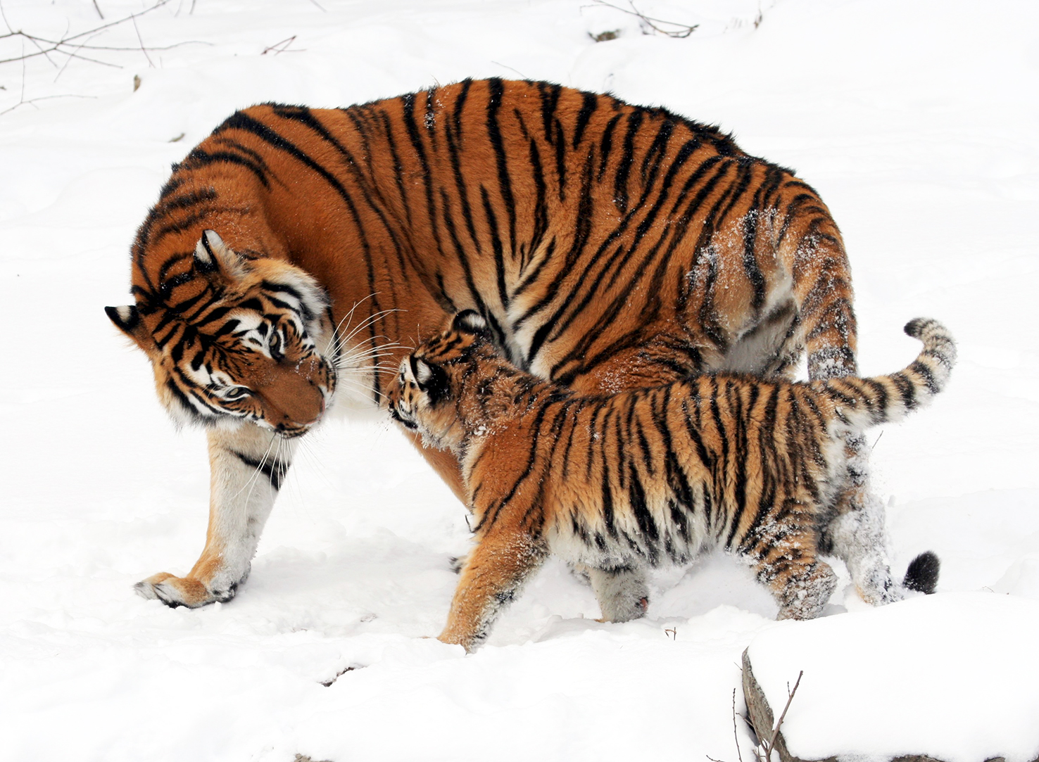 Sibririan tigress with her cub