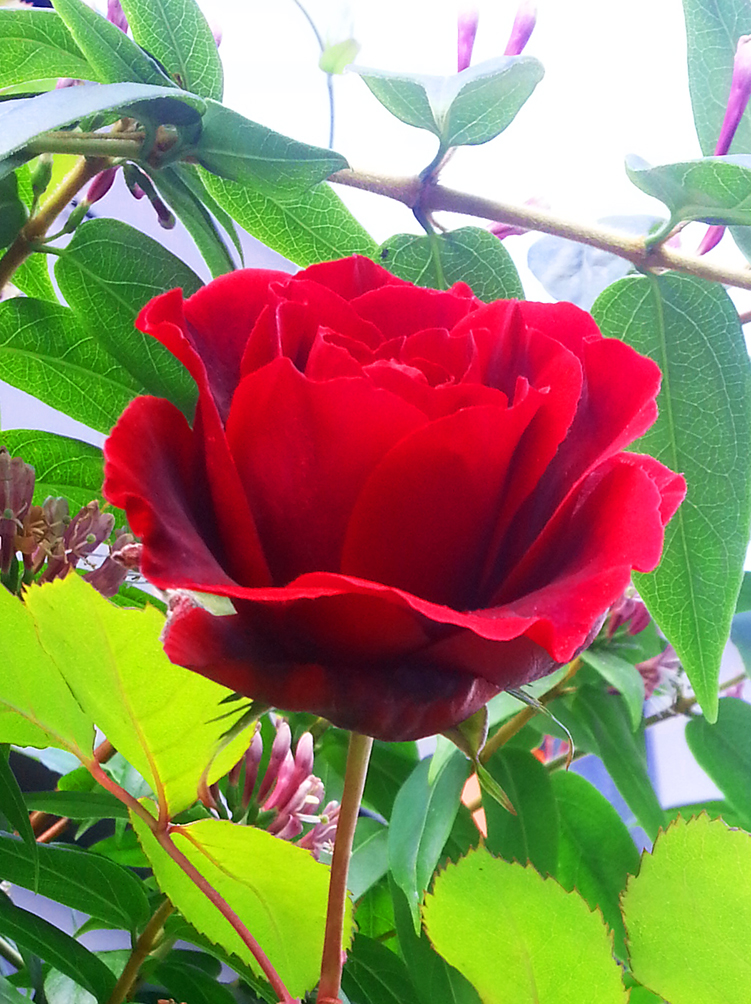 photo of single red rose
