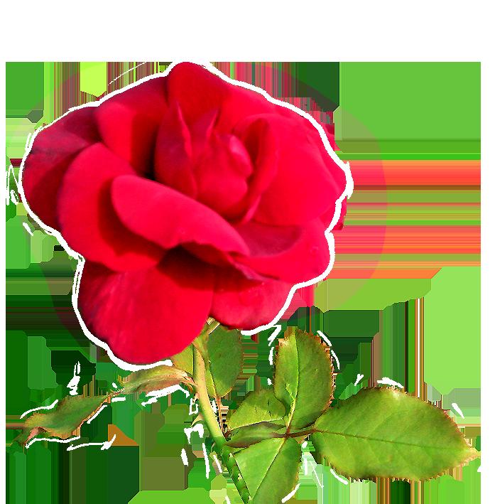 velvet rose clipart