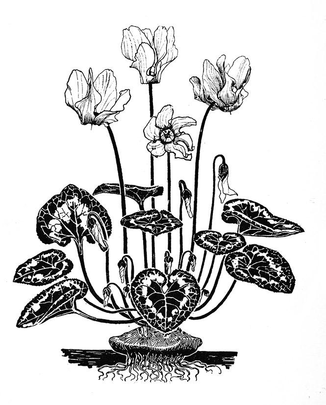 pencil drawing of Cyclamen flower