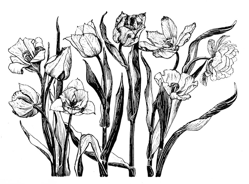 Flower sketches of tulips