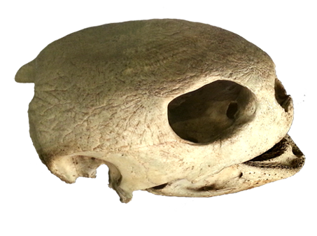 skull of sea turtle