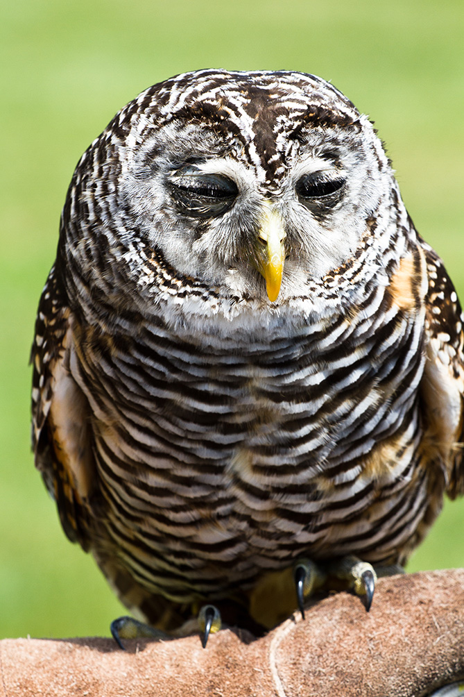 sleepy owl picture