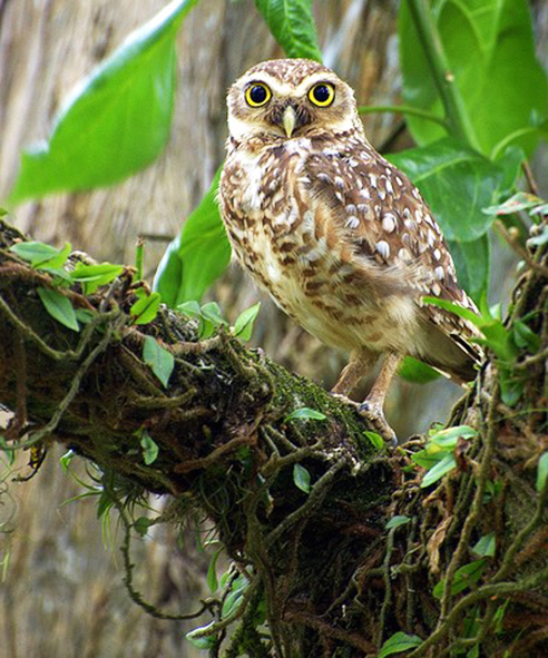 small Burrowing owl in forest