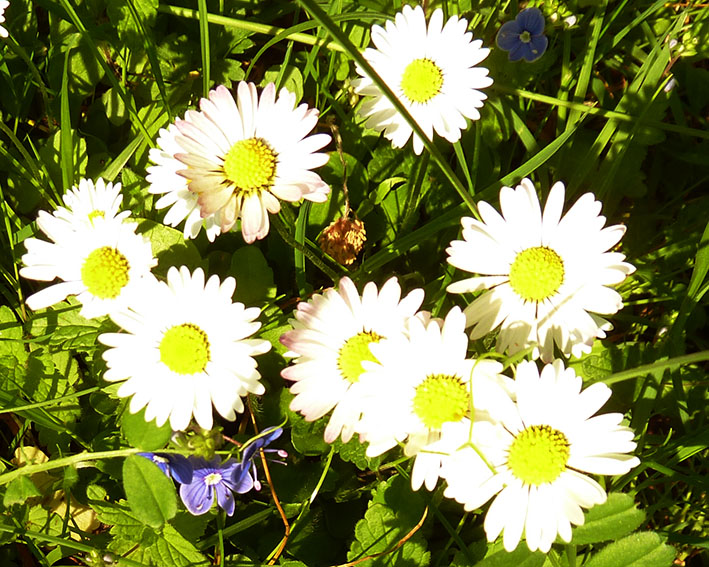 Small daisies in grass