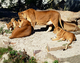 big lion family big picture