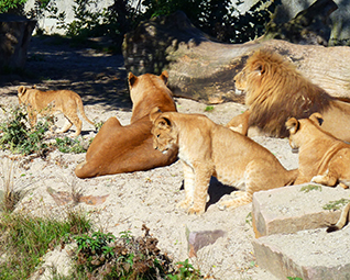 lion family big photo