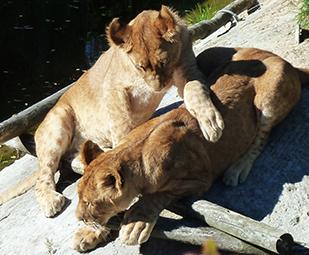 big photo playing lion cubs