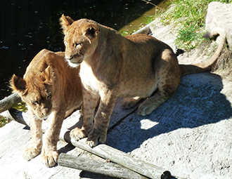 two big lion cubs big photo