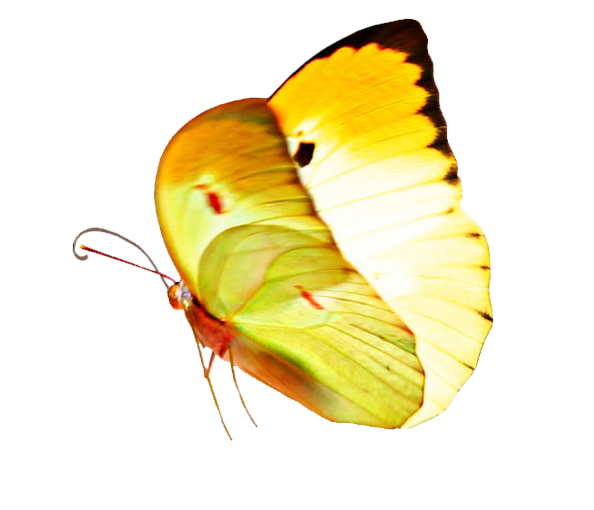 small yellow butterfly clipart
