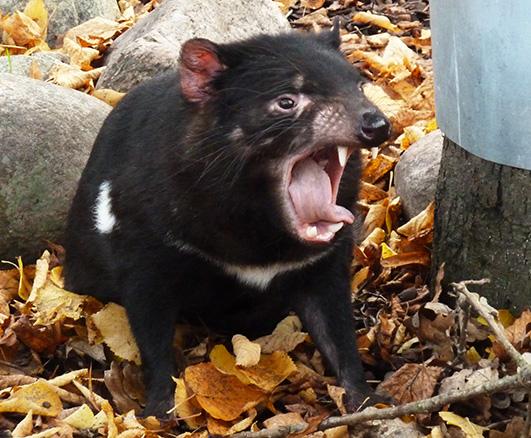Snarling Tasmanian devil