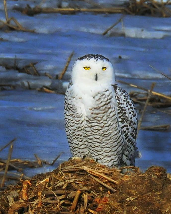 snowy owl at salt lake