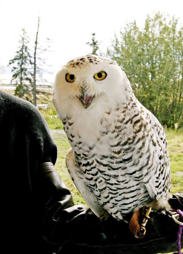 Snowy owl sitting on arm