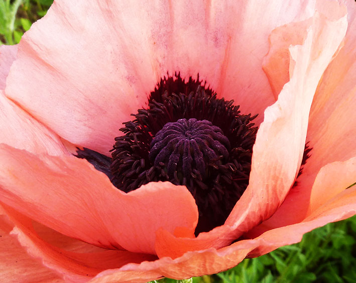 close up picture of soft red poppy
