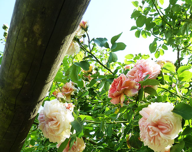 soft red roses against the blue sky