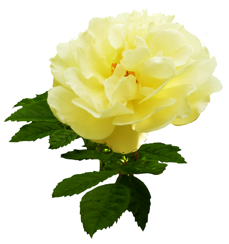soft yellow rose graphic