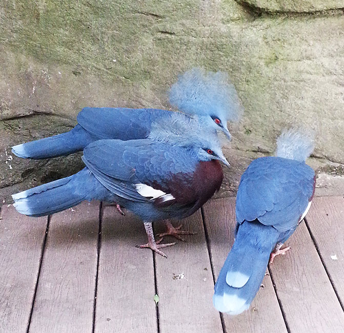 Southern crowned pigeons