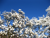 spring clipart tulip tree