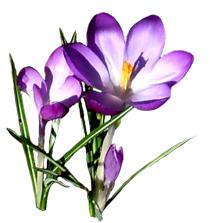 spring clipart purple crocus