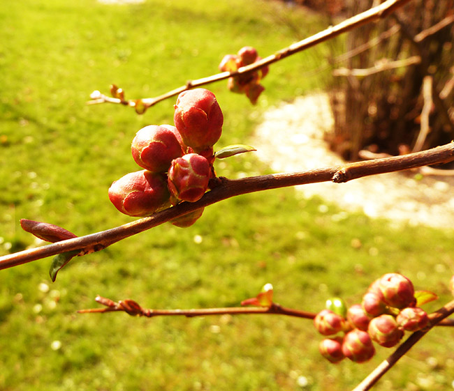 spring flower buds