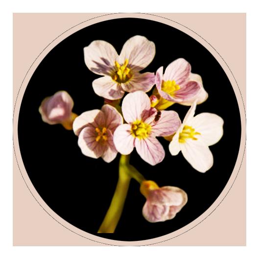 soft pink flower on black background
