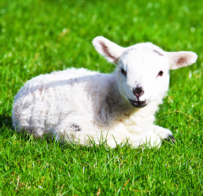 spring lamb in grass