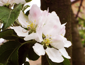 Apple blossom in spring soft delicate