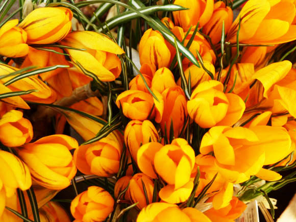 spring pictures crocus yellow