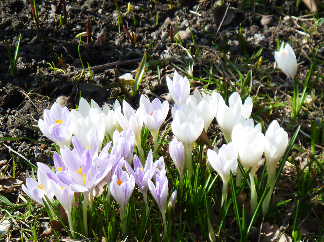 flower bloom in spring crocus