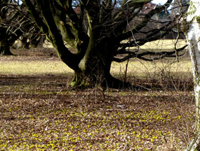 spring picture with winter aconite
