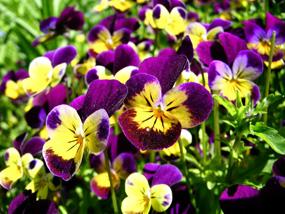spring pictures pansies