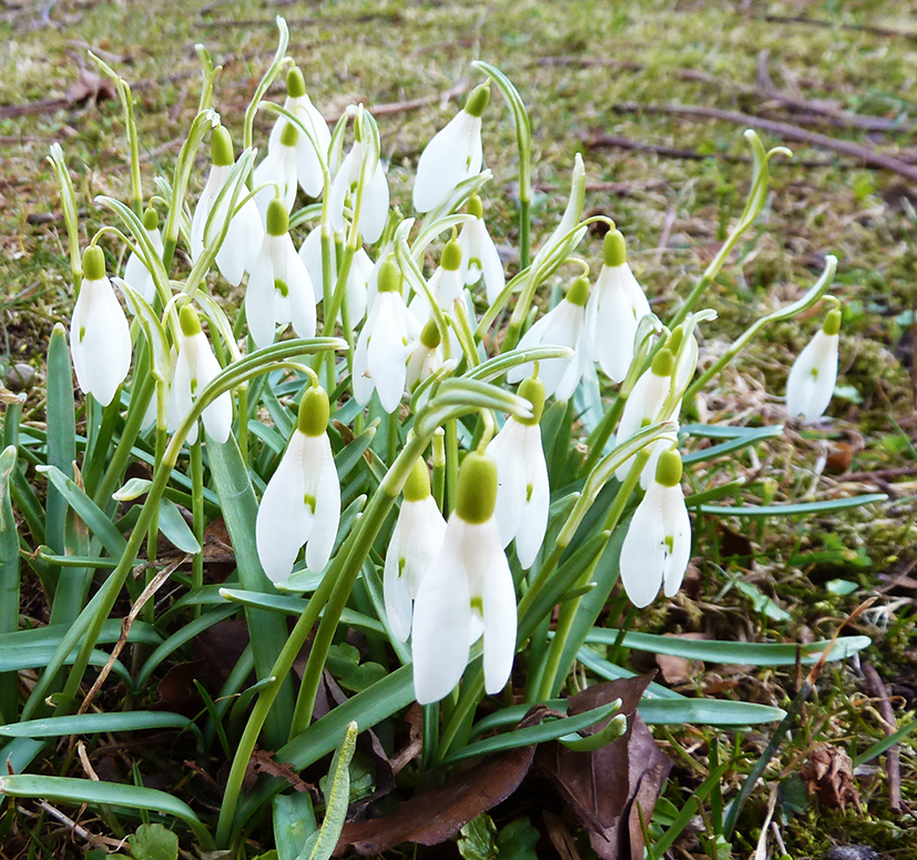 spring pictures snow drops