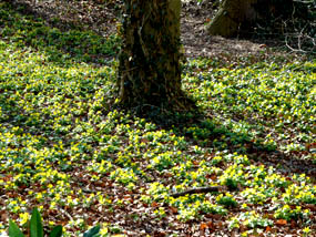 winter aconites in spring