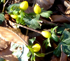 winter aconite in spring
