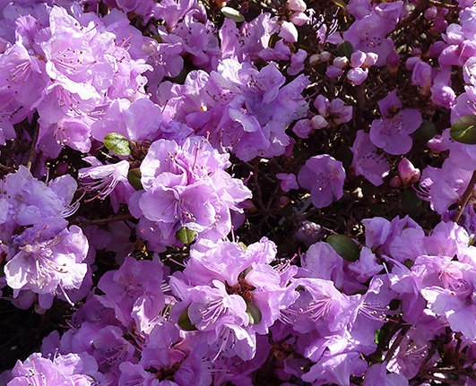 Rhododendron blooming in the spring