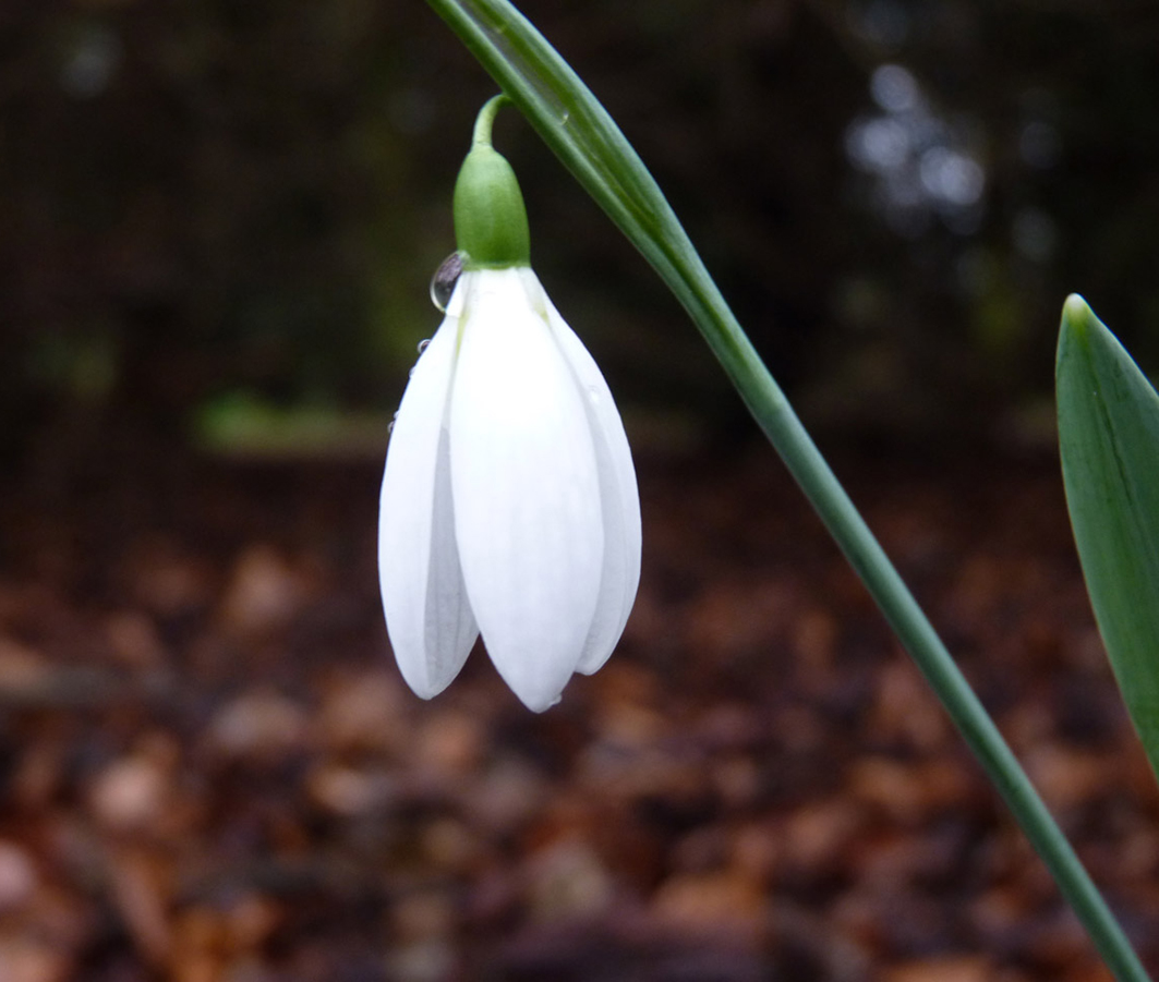 spring snow drop flower