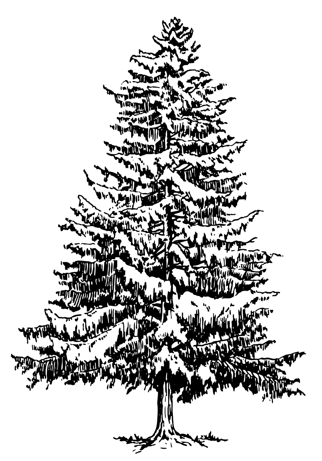 spruce tree with snow silhouette