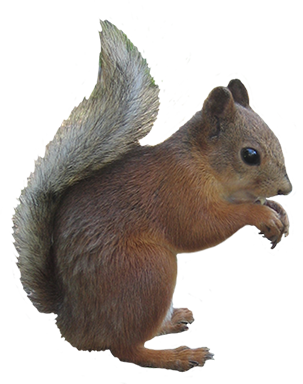 cute squirrel clipart