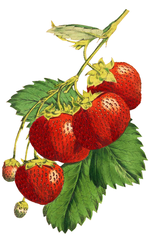 strawberries for scrapbooking