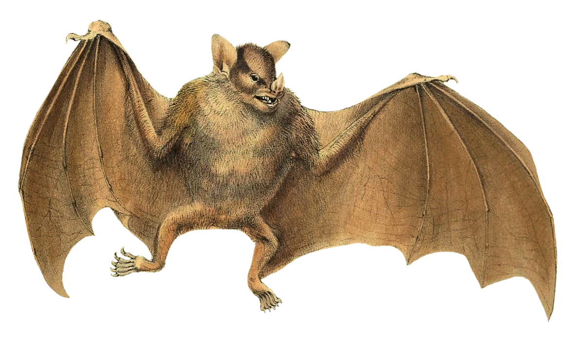 sturnira spectrum bat clipart