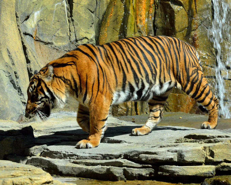 sumatran tiger image