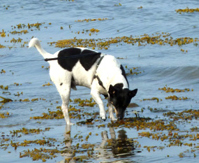 summer clip art dog in the sea