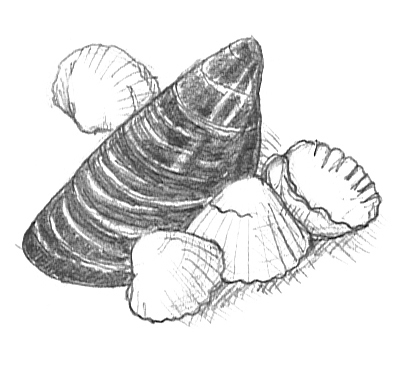 summer clipart mussel cockles sketch