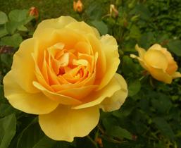 summer clipart rose