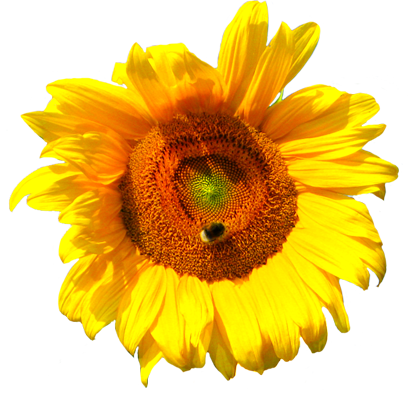 sunflower head with bee