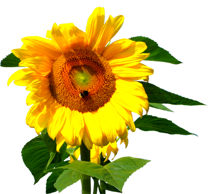 flower clip art sunflower stalk with bee