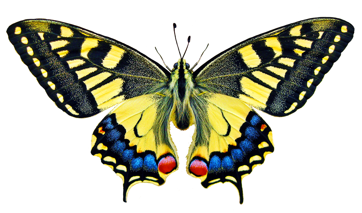 swallowtale butterfly clipart